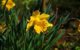 Нарциссы: важные советы по уходу после цветения