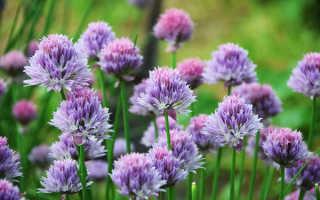 Многолетний лук: интересные сорта, выращивание и уход