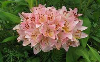Самые красивые лилии – описание сортов и фото