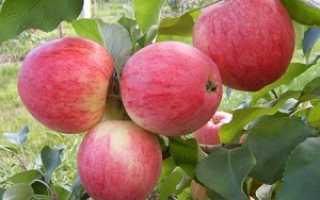 Аркадик – яблоневый летний сорт ранней спелости