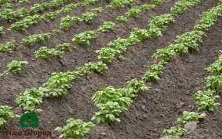 Посевы картофеля: ухаживаем за будущим урожаем правильно!