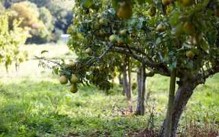 Соседи яблони – что можно высаживать рядом с яблоневым деревом