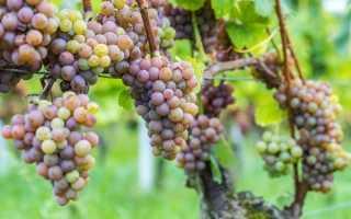 Виноград Кишмиш: характеристика, разновидности, плюсы и минусы
