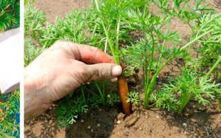 Морковь на ленте – как сажать семена на ленте правильно