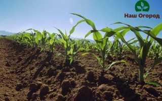 Кукуруза: как правильно вырастить царицу полей?
