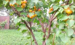 Абрикос Нью Джерси – описание и выращивание. Фото + видео сорта