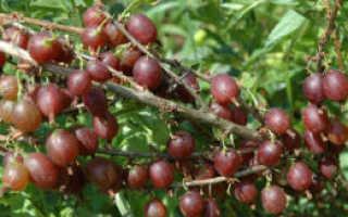 Крыжовник Олави: выращивание, описание сорта, отзывы