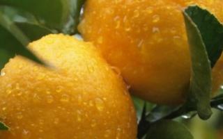 Как и когда пересадить лимон в домашних условиях, пошаговая инструкция по пересадке лимона