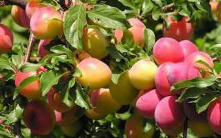 Слива Болховчанка: описание, посадка, выращивание и уход + фото