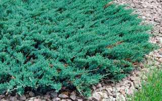Можжевельник горизонтальный – описание растения