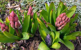 Посадка и уход за гиацинтами, выращивание в грунте
