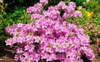 Азалия садовая: как посадить и ухаживать за кустарником