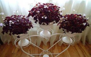 Кислица оксалис: комнатные и садовые разновидности, уход