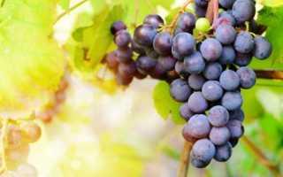 Скручивание листьев у винограда – чем опасно и как с этим бороться