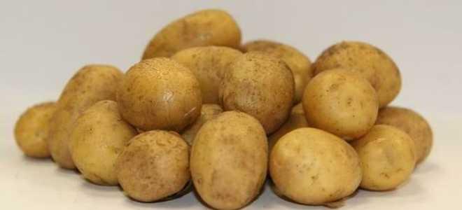Картофель Латона: описание сорта. Все о посадке, уходе, уборке