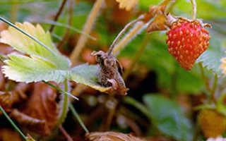 Клубника осенью: посадка и уход в грунт при посадке клубники
