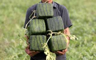 Квадратный арбуз: как вырастить своими руками, изготовление формы, уход