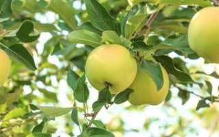 Яблоня «Феникс Алтайский»: описание, выращивание и уход + Фото