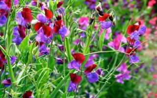 Душистый горошек – выращивание из семян, уход в открытом грунте