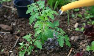 Полив помидоров в теплице и открытом грунте – от чего зависит?
