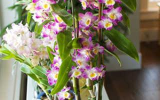 Дендробиум: описание орхидеи, уходовые мероприятия, сорта, фото
