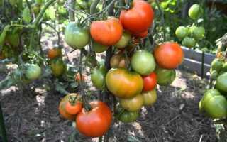 Томат Дубок: описание и выращивание + фото и видео о сорте