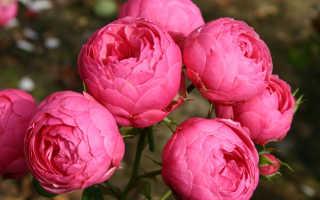 Описание сорта розы Помпонелла флорибунда, сорт Немецкая селекция, как выращивать