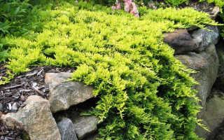 Можжевельник Голден Карпет: выращивание, описание сорта + фото