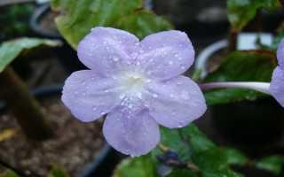 Азистазия – правила ухода за цветком и профилактика болезней