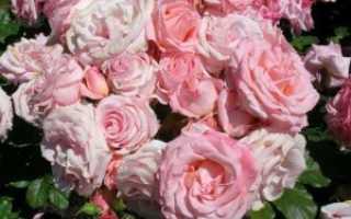 Чайная роза: подробная характеристика и советы по выращиванию