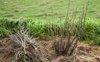 Смородина: уход осенью, подготовка к зиме