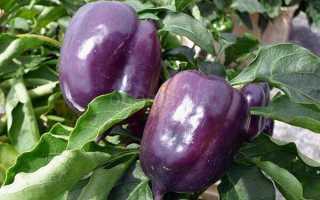 Фиолетовый перец – сорта, подробное описание + фото