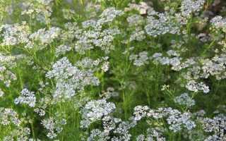 Кориандр посевной: описание растения, особенности выращивания