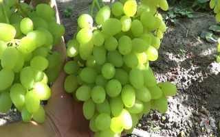 Виноград долгожданный – всё о сорте с фото и видео