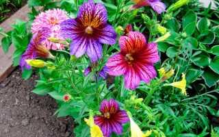Сальпиглоссис: описание, выращивание из семян в открытом грунте