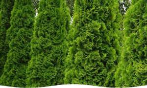 Туи в ландшафтном дизайне: сочетание с разными видами растений
