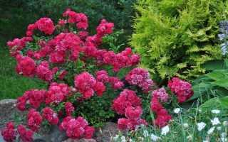 Роза Фейри: вся информация о видах и уходе за растением