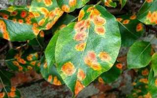 Болезни и вредители листьев груши: как с ними бороться