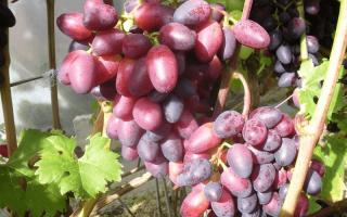 Виноград Красотка: описание сорта, фото, все о выращивании
