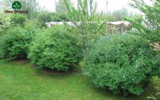 Жимолость в саду: секреты по выращиванию