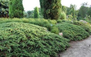 Можжевельник Грин Карпет: описание, выращивание сорта