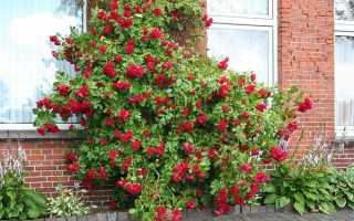 """Роза """"Симпатия"""": посадка и уход, подкормка и подготовка к зиме"""