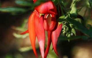 Клиантус: описание, размножение и уход + фото