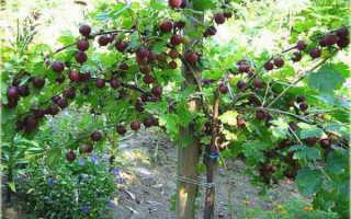 Штамбовый крыжовник – подбор сорта и выращивание