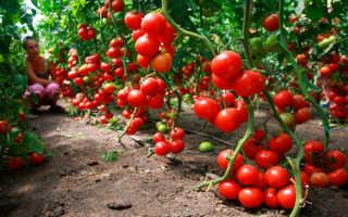 Выращивание помидоров в теплице. Подготовка семян. Уход, защита