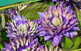 Посадка капусты в открытый грунт – особенности и секреты
