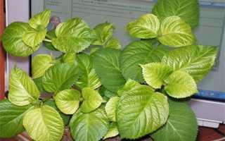 У гортензии чернеют и сохнут листья – как предотвратить недуг