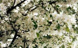 Яблоня декоративная: описание группы растений, агротехника, сорта