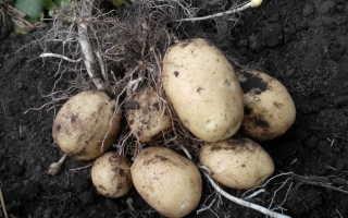 Подготовка картофеля к посадке весной: подготовка клубней к посадке