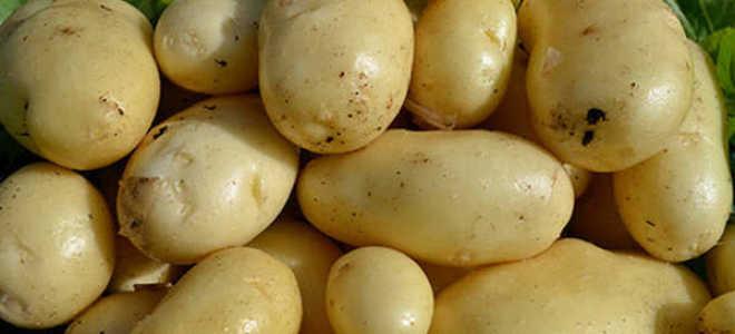 Картофель Импала – ранний сорт, посадка и выращивание